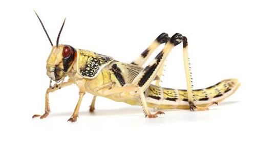 Locusts Large